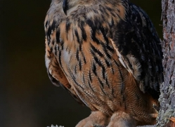 european-eagle-owl-775-scotland-copyright-photographers-on-safari-com