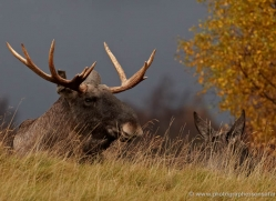 european-elk-773-scotland-copyright-photographers-on-safari-com
