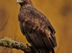 golden-eagle-847-scotland-copyright-photographers-on-safari-com