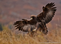 golden-eagle-852-scotland-copyright-photographers-on-safari-com