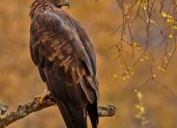 golden-eagle-854-scotland-copyright-photographers-on-safari-com