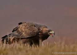 golden-eagle-856-scotland-copyright-photographers-on-safari-com