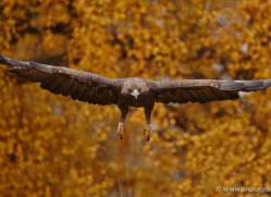 golden-eagle-858-scotland-copyright-photographers-on-safari-com