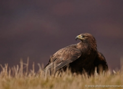 golden-eagle-860-scotland-copyright-photographers-on-safari-com