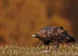 golden-eagle-861-scotland-copyright-photographers-on-safari-com