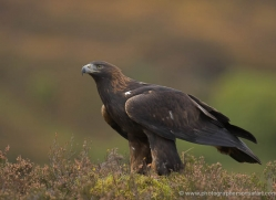 golden-eagle-864-scotland-copyright-photographers-on-safari-com