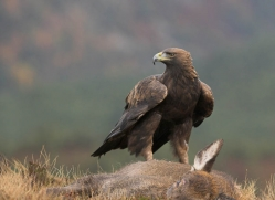golden-eagle-865-scotland-copyright-photographers-on-safari-com