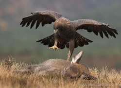 golden-eagle-866-scotland-copyright-photographers-on-safari-com