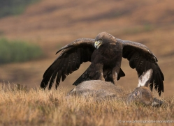 golden-eagle-869-scotland-copyright-photographers-on-safari-com