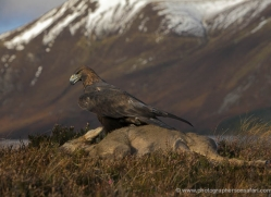 golden-eagle-870-scotland-copyright-photographers-on-safari-com