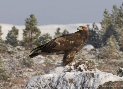 golden-eagle-876-scotland-copyright-photographers-on-safari-com
