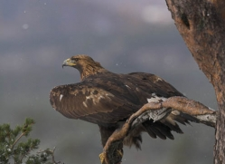 golden-eagle-877-scotland-copyright-photographers-on-safari-com
