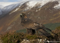 golden-eagle-879-scotland-copyright-photographers-on-safari-com