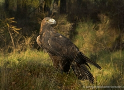 golden-eagle-880-scotland-copyright-photographers-on-safari-com