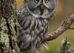 great-grey-owl-845-scotland-copyright-photographers-on-safari-com