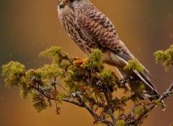 kestrel-821-scotland-copyright-photographers-on-safari-com