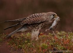 kestrel-822-scotland-copyright-photographers-on-safari-com