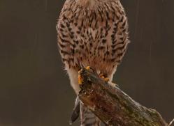 kestrel-824-scotland-copyright-photographers-on-safari-com