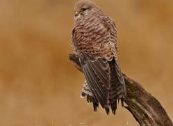 kestrel-827-scotland-copyright-photographers-on-safari-com