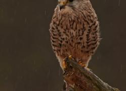 kestrel-828-scotland-copyright-photographers-on-safari-com