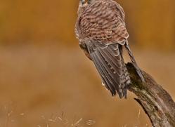 kestrel-829-scotland-copyright-photographers-on-safari-com