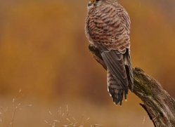 kestrel-833-scotland-copyright-photographers-on-safari-com
