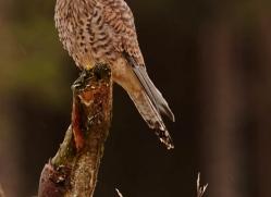 kestrel-834-scotland-copyright-photographers-on-safari-com