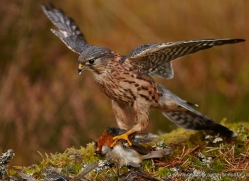 merlin-819-scotland-copyright-photographers-on-safari-com