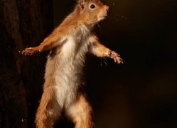red-squirrel-722-scotland-copyright-photographers-on-safari-com