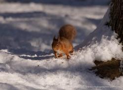 red-squirrel-726-scotland-copyright-photographers-on-safari-com