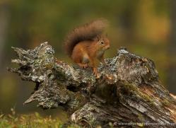 red-squirrel-728-scotland-copyright-photographers-on-safari-com