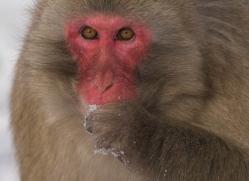 snow-monkey-japanese-macaque687-scotland-copyright-photographers-on-safari-com