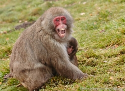 snow-monkey-japanese-macaque690-scotland-copyright-photographers-on-safari-com