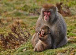 snow-monkey-japanese-macaque691-scotland-copyright-photographers-on-safari-com