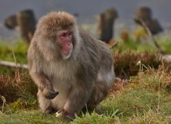 snow-monkey-japanese-macaque692-scotland-copyright-photographers-on-safari-com