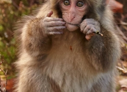 snow-monkey-japanese-macaque695-scotland-copyright-photographers-on-safari-com