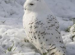 snowy-owl838-scotland-copyright-photographers-on-safari-com
