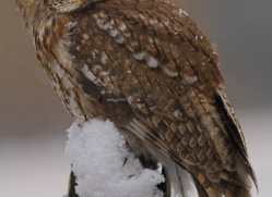 tawny-owl840-scotland-copyright-photographers-on-safari-com