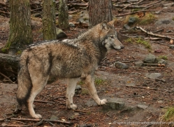 wolf-704-scotland-copyright-photographers-on-safari-com