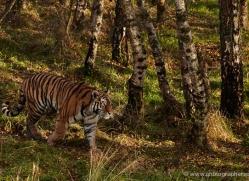 amur-tiger-780-scotland-copyright-photographers-on-safari-com