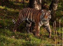 amur-tiger-781-scotland-copyright-photographers-on-safari-com