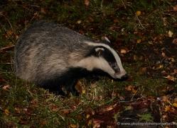 badger-729-scotland-copyright-photographers-on-safari-com