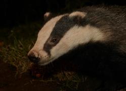 badger-730-scotland-copyright-photographers-on-safari-com