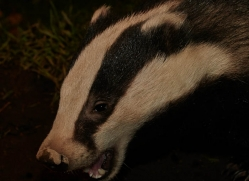badger-731-scotland-copyright-photographers-on-safari-com