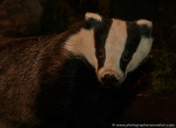 badger-732-scotland-copyright-photographers-on-safari-com