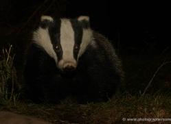 badger-733-scotland-copyright-photographers-on-safari-com