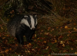 badger-736-scotland-copyright-photographers-on-safari-com