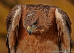 bonellis-eagle-685-scotland-copyright-photographers-on-safari-com