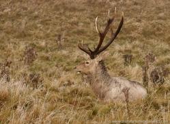 bukhara-deer-805-scotland-copyright-photographers-on-safari-com