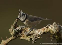 crested-tit-699-scotland-copyright-photographers-on-safari-com